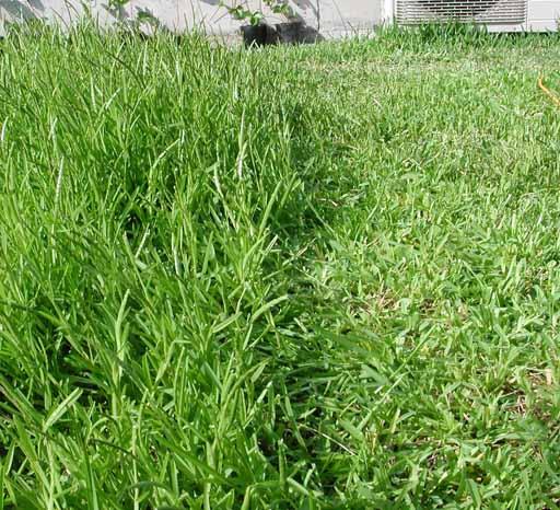090812芝刈り比較.jpg