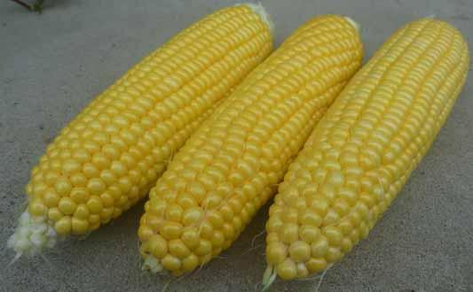 140719トウモロコシ収穫.jpg