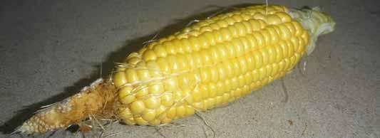 140721トウモロコシ収穫.jpg