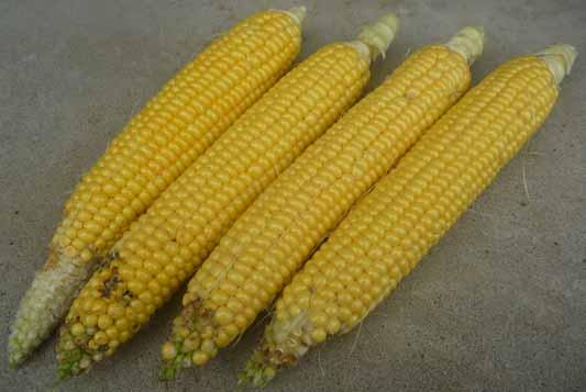 140824トウモロコシ収穫1.jpg