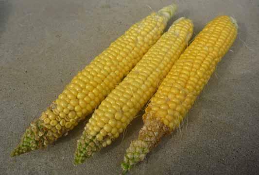 140824トウモロコシ収穫2.jpg